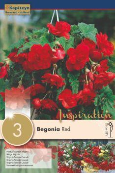 BEGONIA PENDULA CASCADE RED