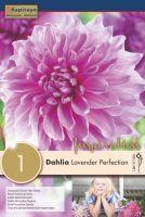 DAHLIA LAVENDER PERFECTION