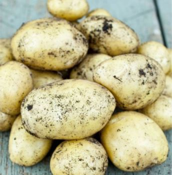 ORLA  1st early seed potato