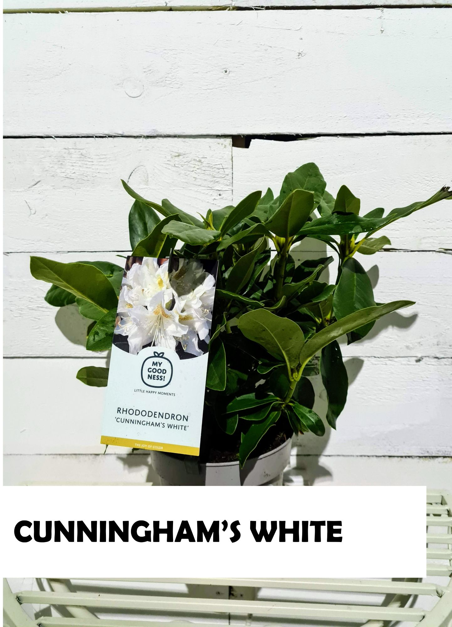 RHODODENDRON_MIX_CUNNINGHAMS_WHITE