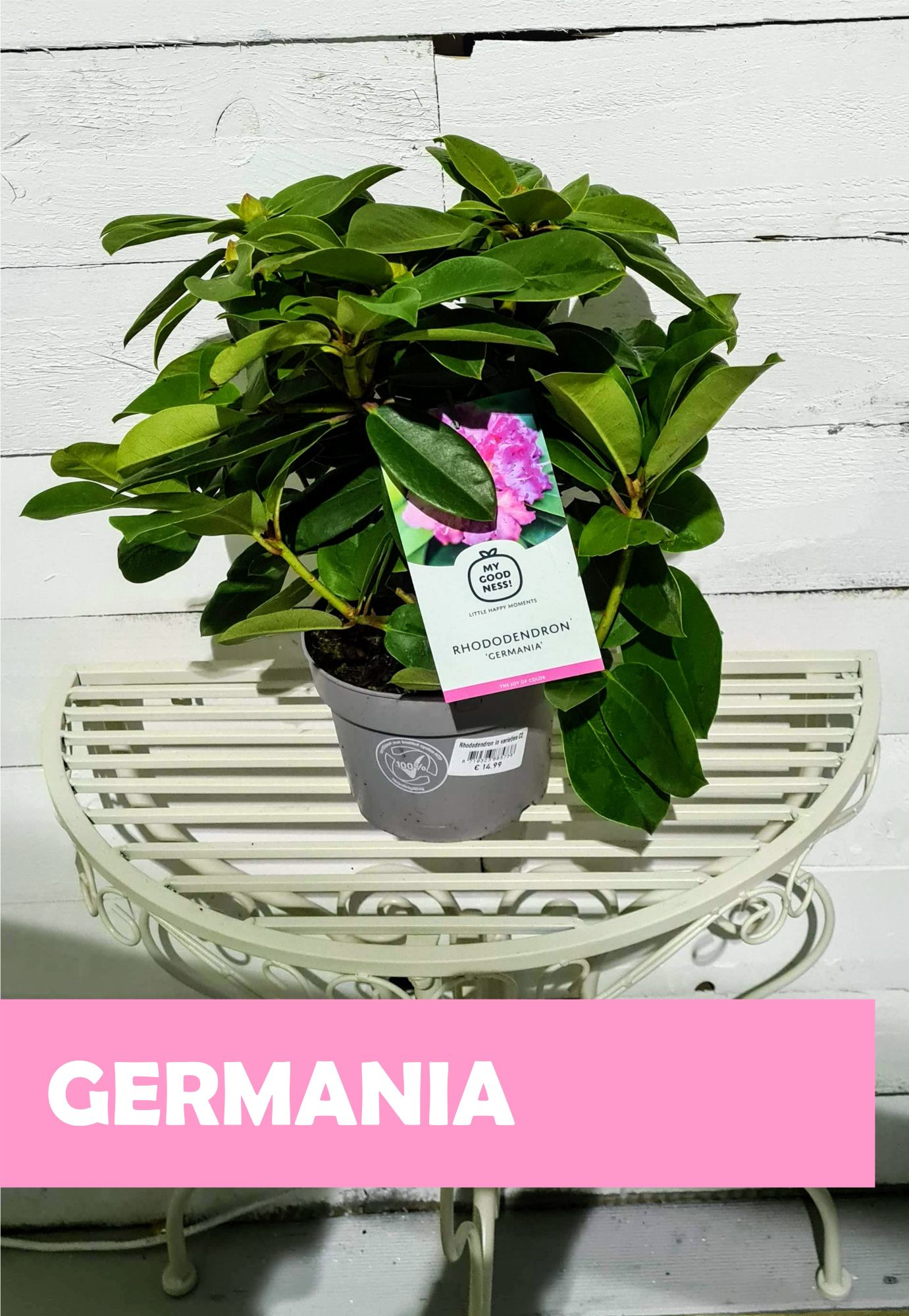 RHODODENDRON_MIX_GERMANIA