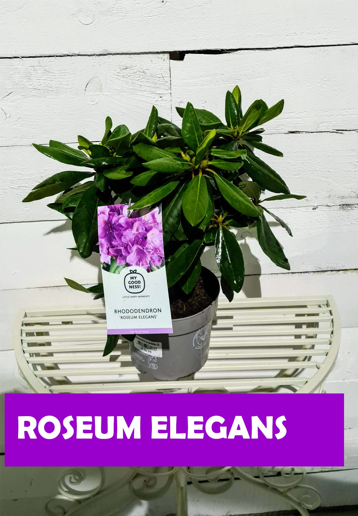 RHODODENDRON_MIX_ROSEUM_ELEGANS