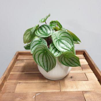 Peperomia argyreia WATER MELON PLANT