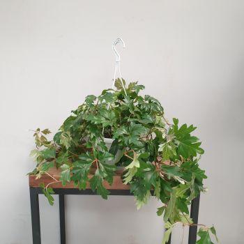 CISSUS ELLEN DANICA hanging pot