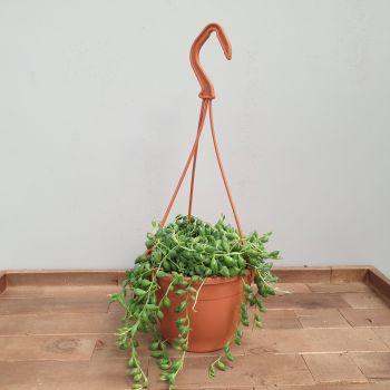 SENECIO HARREIANUS in hanging pot