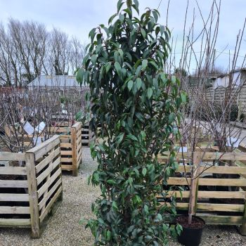 Prunus lusitanica 'Angustifolia' P