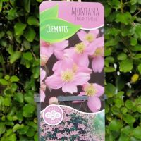 CLEMATIS MONTANA FRAGRANT SPRING