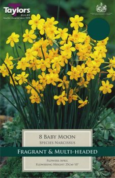 NARCISSUS BABY MOON