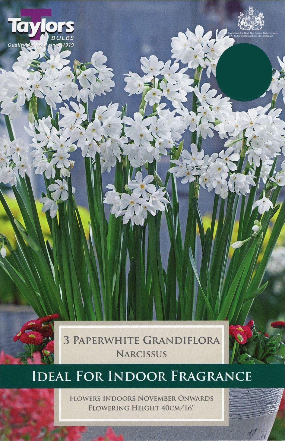 PAPERWHITE GRANDIFLORA