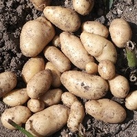 SEED POTATO MAIN CROP