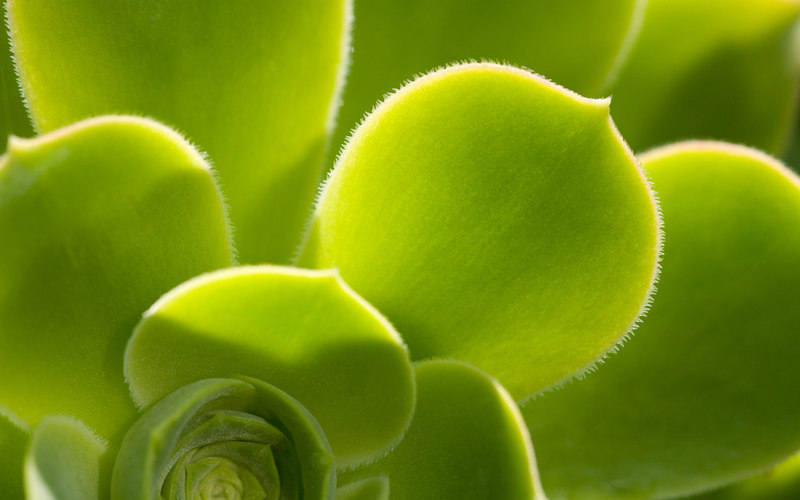 Hen_and_chicks_Exotic_House_Plants_Widescreen_wallpaper