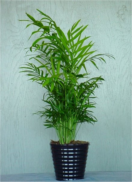 air areca palm