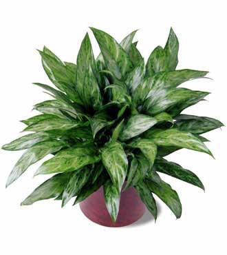 air chinese evergreen