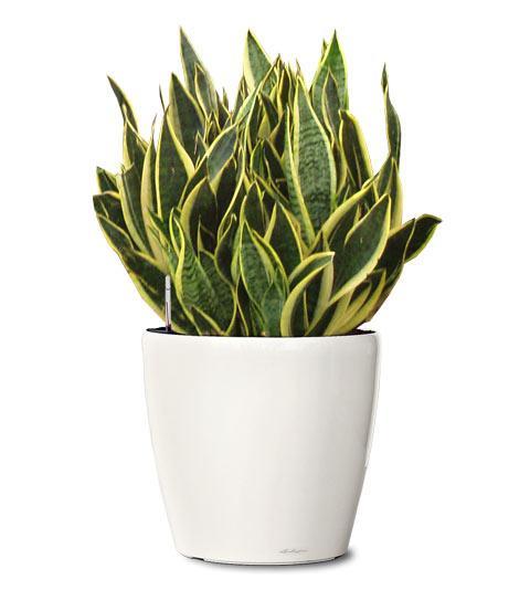 air snake plant