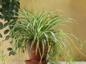 air spider plant