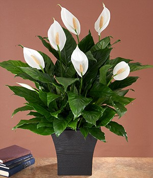 air. peace lily