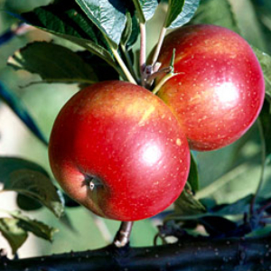 MALUS DISCOVERY