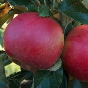 MALUS GLOSTER