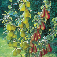 PYRUS DUO PEAR