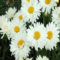 Leucanthemum Snow Lady