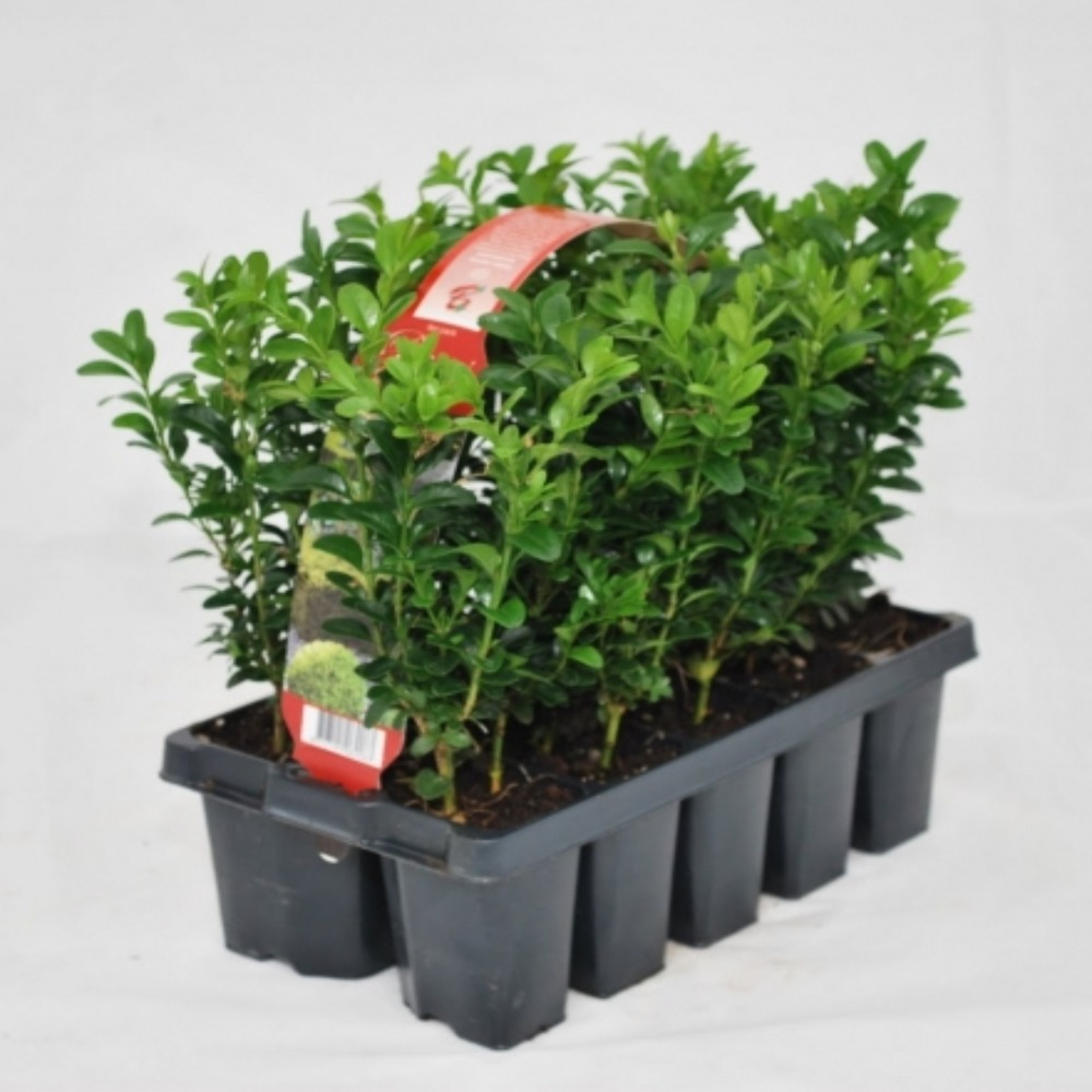 BUXUS 10 PACK
