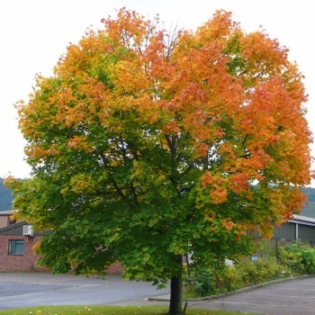 ACER PLATANOIDES (NORWAY MAPLE)