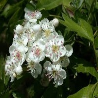 CRATAEGOUS MONOGYNA (WHITE THORN) 60-90CM Bundle of 25