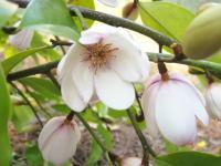 Michelia  'Fairy Magnolia'