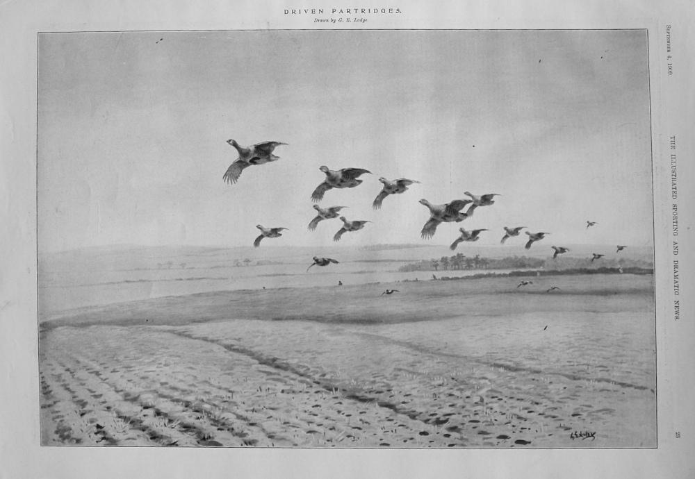 Driven Partridges. 1909