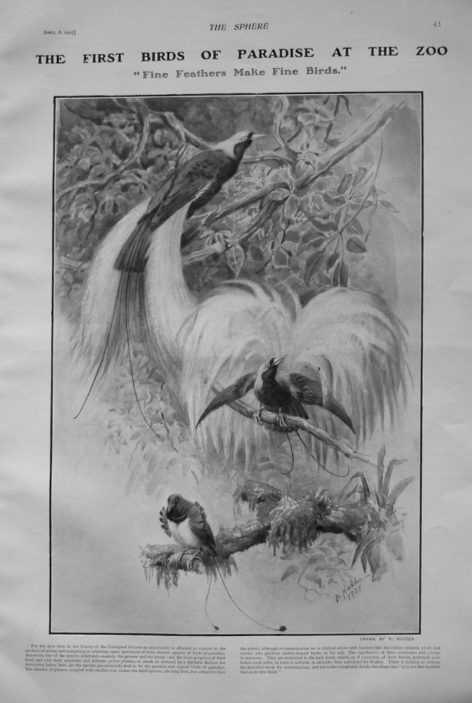 "First Birds of Paradise at the Zoo. ""Fine Feathers make Fine Birds."" 1905"