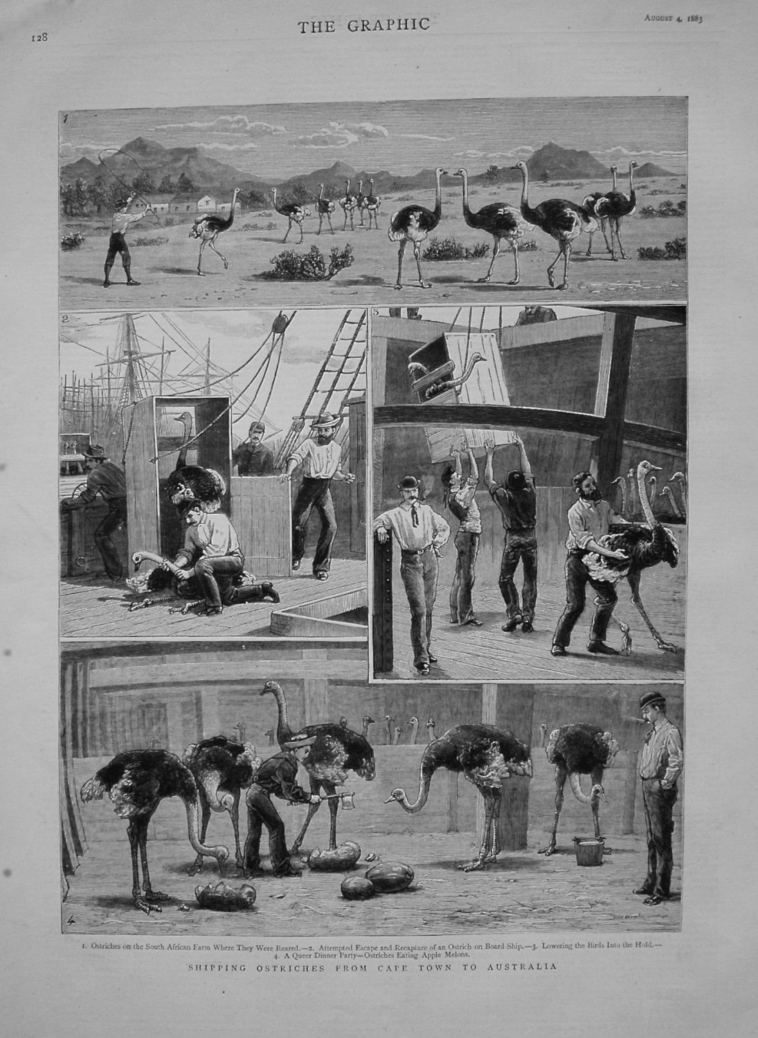 Shipping Ostriches from Cape Town to Australia. 1883