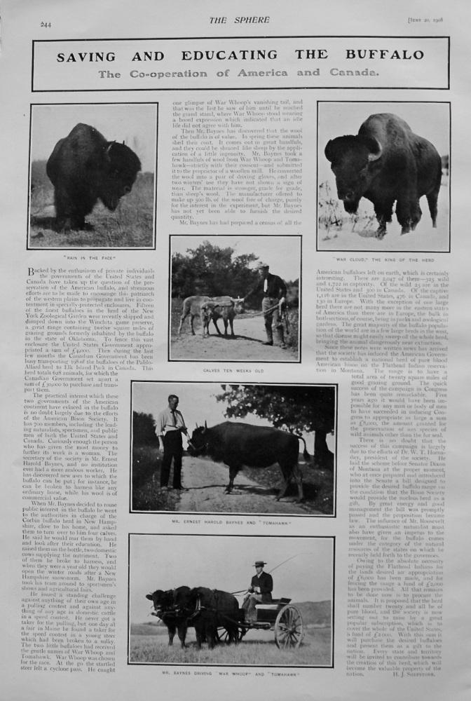 Saving and Educating the Buffalo. 1908