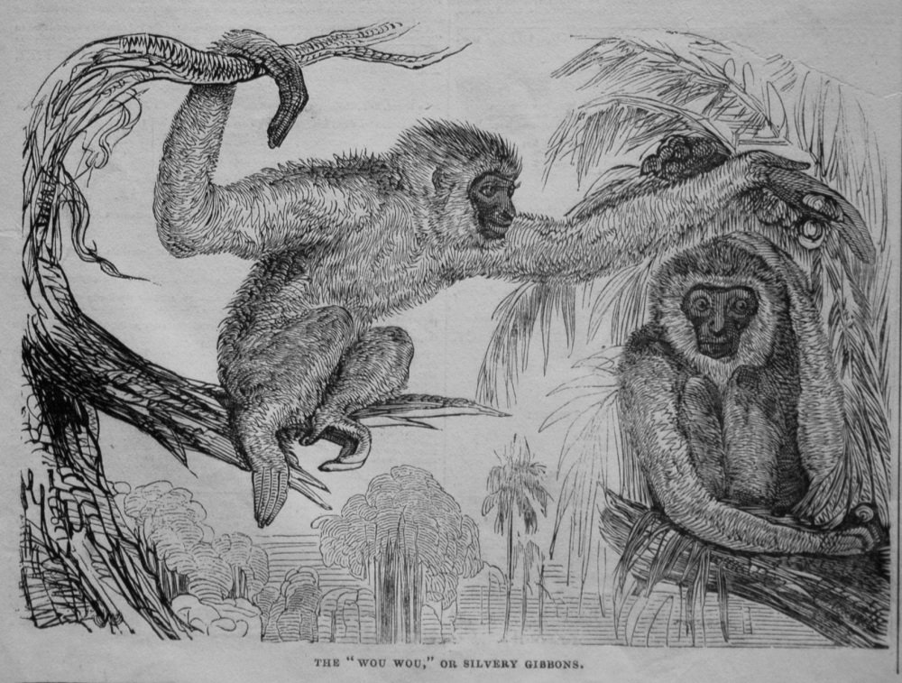 "The ""Wou-Wou,"" or Silvery Gibbons. 1845"