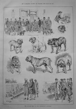 The Bulldog Show at the Westminster Aquarium. 1887