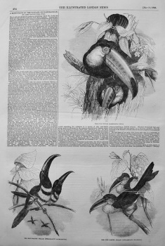 A Monograph of the Toucans, or Ramphastidae. 1855