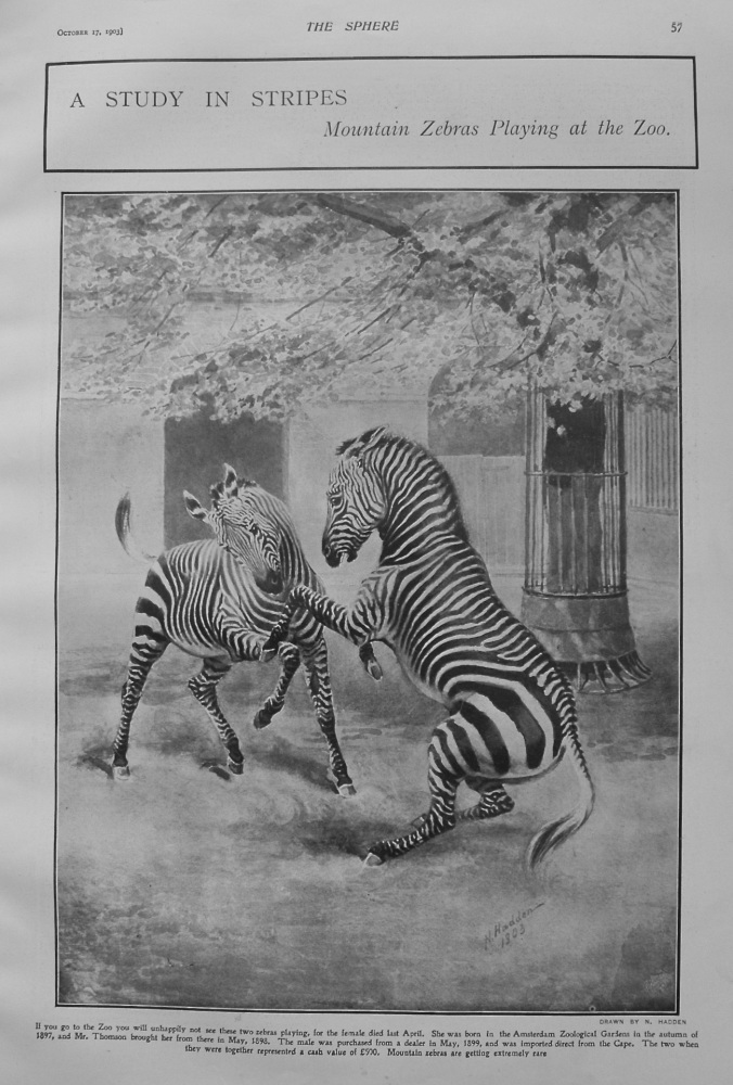 A Study in Stripes : Mountain Zebras Playing at the Zoo. 1903
