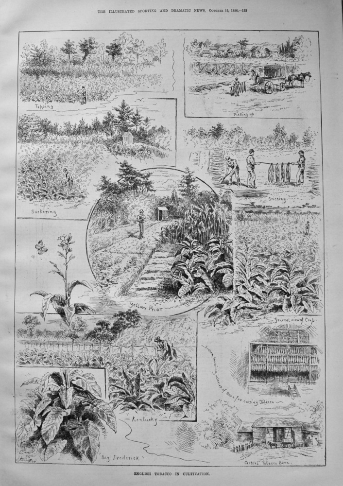 English Tobacco in Cultivation. 1886