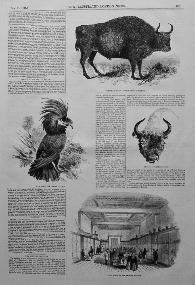 New bird.- The Goliah Aratoo. 1845.