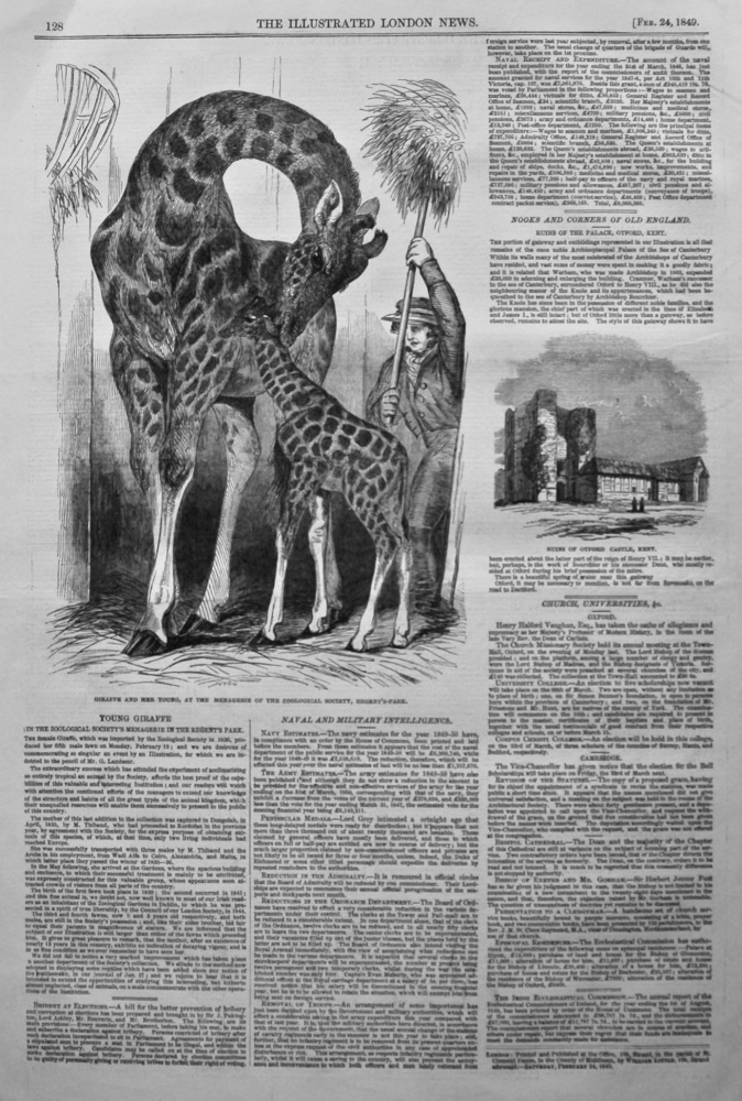 Young Giraffe in the Zoological Society's Menagerie in the Regent's Park. 1849.