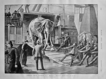 Landing Fritz, Barnum and Bailey's Biggest Elephant. 1897.