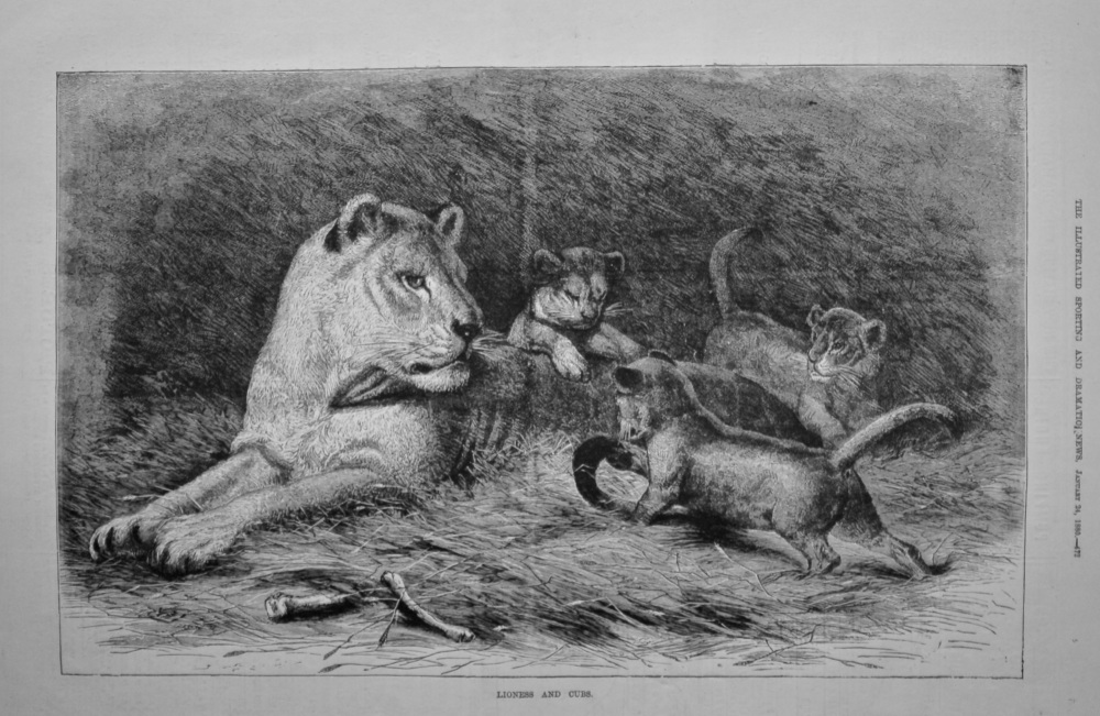 Lioness and Cubs.  1880.