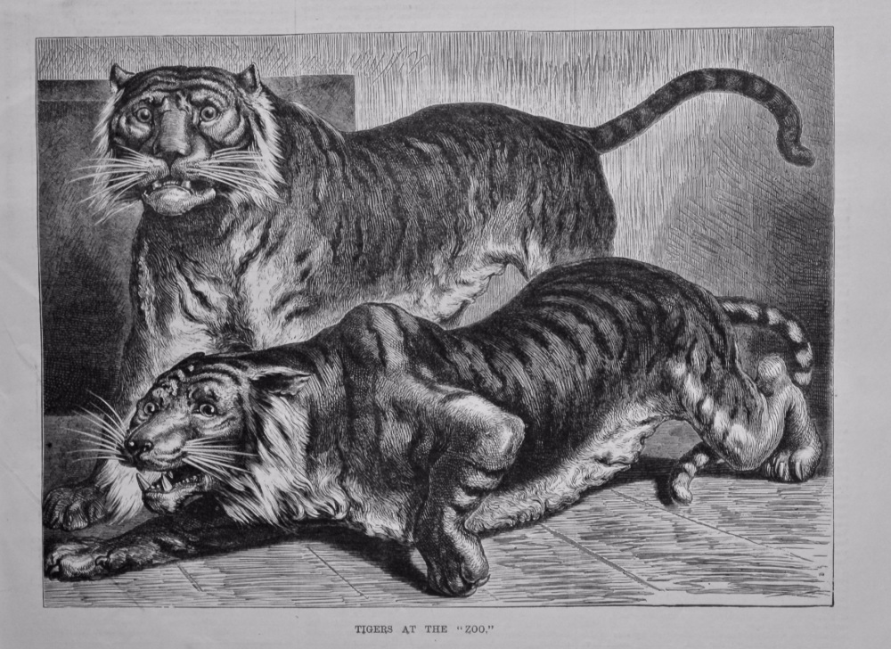 "Tigers at the ""Zoo.""  1880."