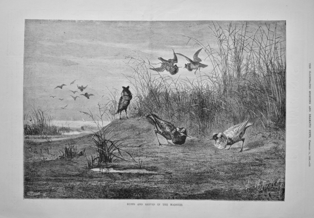 Ruffs and Reeves in the Marshes.  1880.