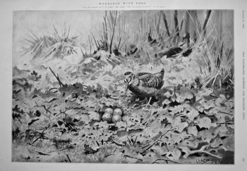 Woodcock with Eggs.  1908.