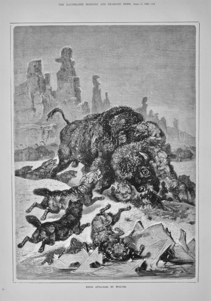 Bison Attacked by Wolves.  1880.