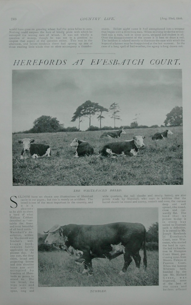 Herefords at Evesbatch Court.  1908.