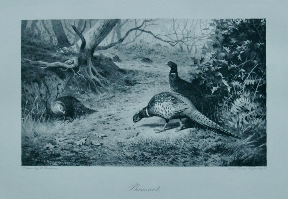 Pheasant - 1898