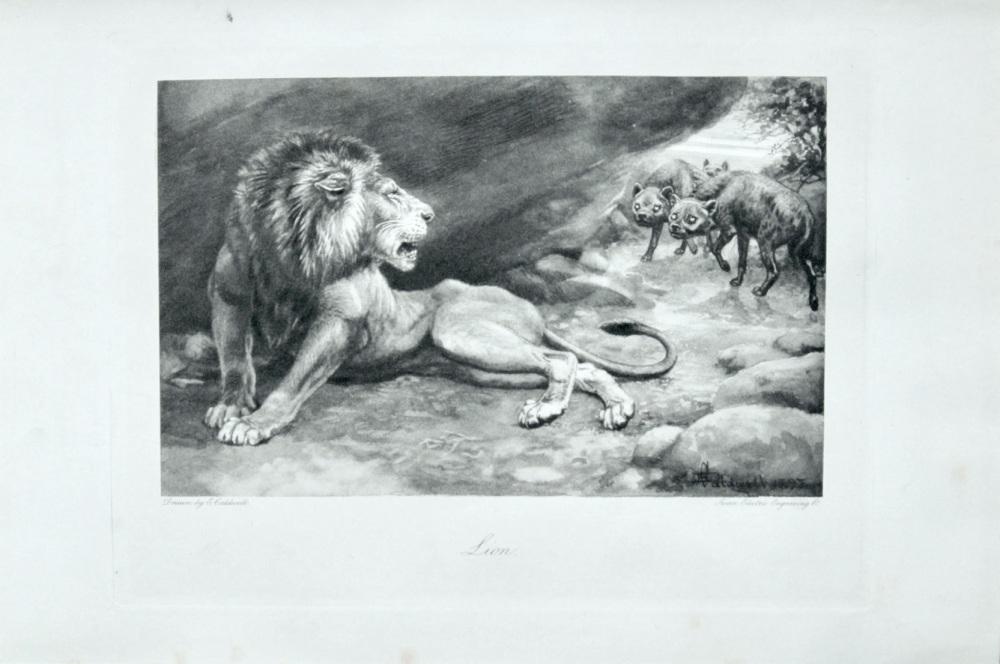 Lion - 1898
