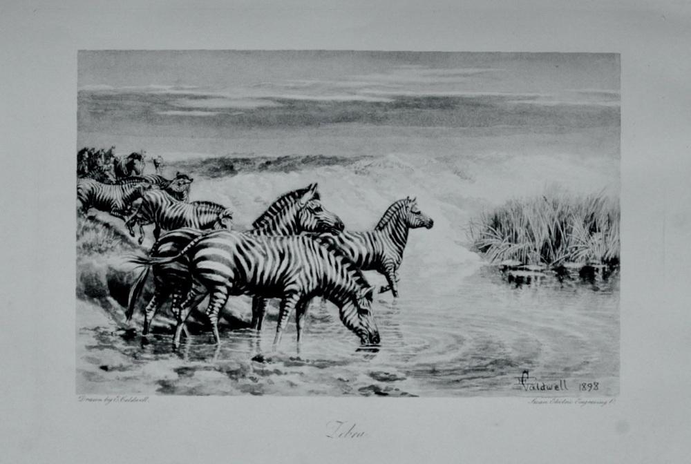 Zebra - 1898