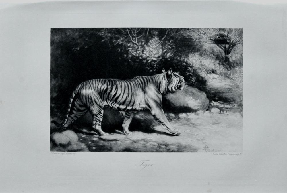 Tiger - 1898